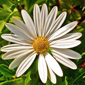 Dazed by Joanne Burke - Flowers Single Flower