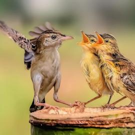 Golden-headed Cisticola.... by MazLoy Husada - Animals Birds