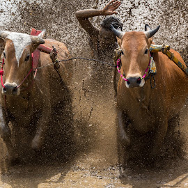 Pacu Jawi by Kampia Bareh - News & Events Sports ( minangkabau traditional sport, west sumatera tourism, indonesia tourism, racing cows, pacu jawi )