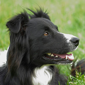 by Giselle Pierce - Animals - Dogs Portraits ( canine, border collie, herding herding dog, puppy, dog )