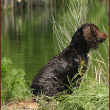 Dog Puzzle: Water Spaniel