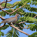 Laughing Dove, Palmtaube