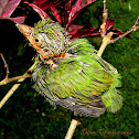 yellow-fronted barbet (Juvenile)