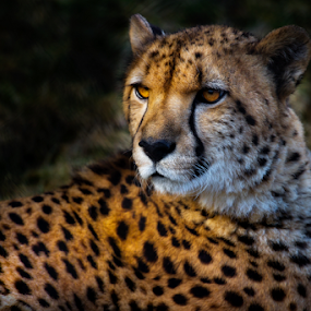 Cheetah by Nigel Bullers - Animals Lions, Tigers & Big Cats ( wild, cheetah, spots, cat, big,  )