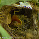 Golden-bellied Gerygone chick