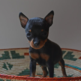 by Deanna Clark - Animals - Dogs Puppies ( puppy, chihuahua )