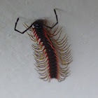 Red-winged Dragon Millipede