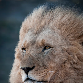 wise by Catalin Ienci - Animals Lions, Tigers & Big Cats ( lion, portrait )