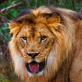 Lion by Joe Thomas - Animals Lions, Tigers & Big Cats ( big cat, predator, lion, cat, african lion )
