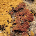 Slime-mold meeting