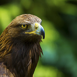 The Stare by Mark Dargan - Animals Birds ( bird, eagle, bird of prey, eagles, birds,  )