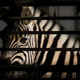 behind bars² by Thierry Matsaert - Animals Horses ( zoo, bars, zebra, stripes, animal,  )