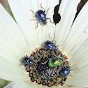Leafbeetles