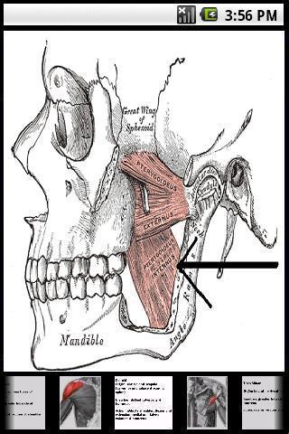 Skelettmuskeln des Menschen