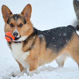 Want to Play Catch? by Carolyn McDonald - Animals - Dogs Portraits ( ball, corgi, snow, pembroke )