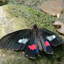 Mariposa Negra - Ruby-spotted Swallowtail butterfly