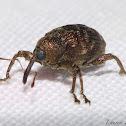 Jeweled Weevil