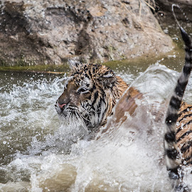 Hershey in the Water by Nancy Young - Animals Lions, Tigers & Big Cats ( water, big cats, splash, tiger, river,  )