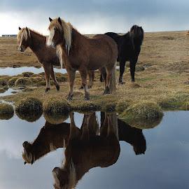 Icelandic horses by Anna Guðmundsdóttir - Animals Horses ( íslenski hestar, icelandic horses, hestar, tarsann, hoses,  )