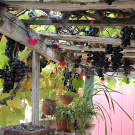 purple grapes by Chelsy Leaton - Food & Drink Fruits & Vegetables ( vines, grapes, food, garden, photography )