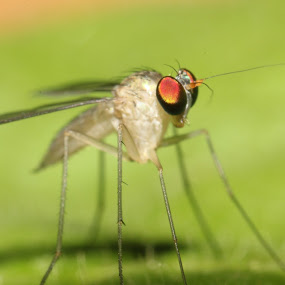 Green Fly by Gokul Rajenan - Animals Insects & Spiders ( #insect #eyes #greenish )