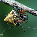 Arrow head spider
