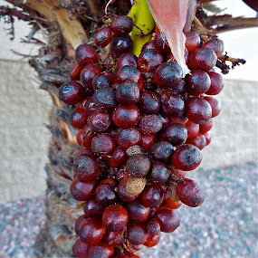 Palm berries by Donna Probasco - Novices Only Flowers & Plants (  )
