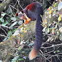 Indian giant squirrel or Malabar giant squirrel