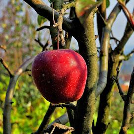 Eko jabuka, by Katica Pecigoš-Kljuković - Food & Drink Fruits & Vegetables ( stršlljanovi, cvijeće, breg )