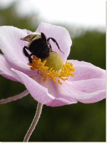 bumble bee Anemone angle