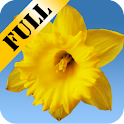Daffodils Live Wallpaper