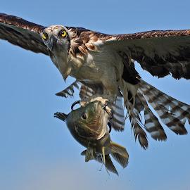 Osprey and fish by Jessie Dickson - Animals Birds (  )