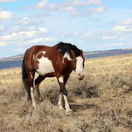 Dibs by Kathy Tellechea - Animals Horses ( wild, wild horse, mustang, horse, male, pinto, paint, steens, animal )