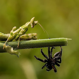 Come on !!! It's just round 1st ! by Cuong Dang - Animals Insects & Spiders ( macro, nature, best, travel, challenger, nikon . animals, discovery, world, closeup )