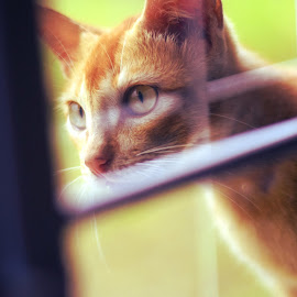 Curious Feline by Azhar Aziz - Animals - Cats Playing ( cat, curious, window )