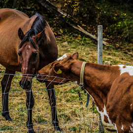 Hello, How are you? by Stephanie Örjas - Animals Horses ( fence, meeting, horse, cow, together, norway,  )
