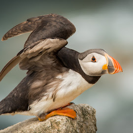 Puffin by Greg Sinclair - Animals Birds ( bird, wild, animals, nature, nature up close, wildlife, nature photography, birds, bird photography, puffin, animal )
