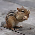 The  Chipmunks of Southeastern US
