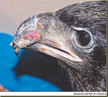 Eagle Chick2