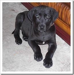 Merlin, aged 11 weeks