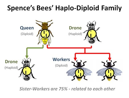 Haplo Diploid Family