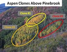 Aspen Clones