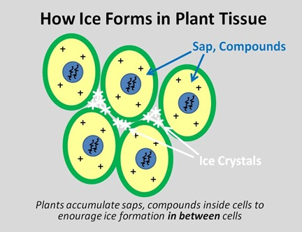 Freezing Plant Tissue