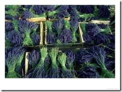 Lavender-Drome-France