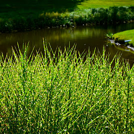 Pond Grasses by Carl Testo - Nature Up Close Leaves & Grasses ( grass, maywood, pond )