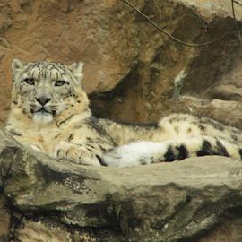 Majestic Snowleopard by Renée Politzer Nass - Animals Lions, Tigers & Big Cats