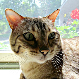 Sitting in the morning sun.. by Kristy Newell - Animals - Cats Portraits ( cats, spotted, cat, bengal cat, sparta, green eyes, sun )