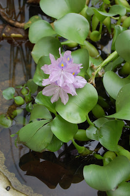 Flowering Water Hyacinth