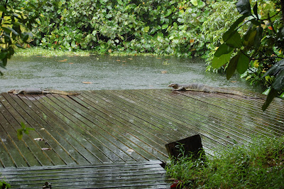 Monitor lizards basking in the rain
