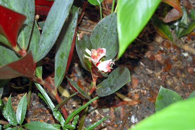 Etlingera species zingiber hort